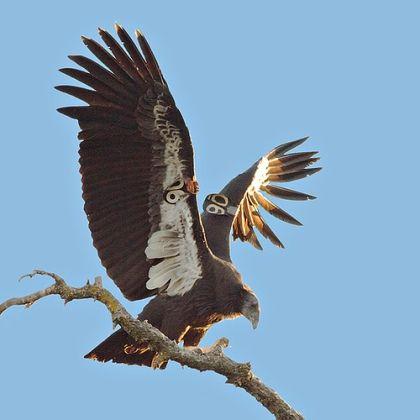 California Condor  svg #13, Download drawings