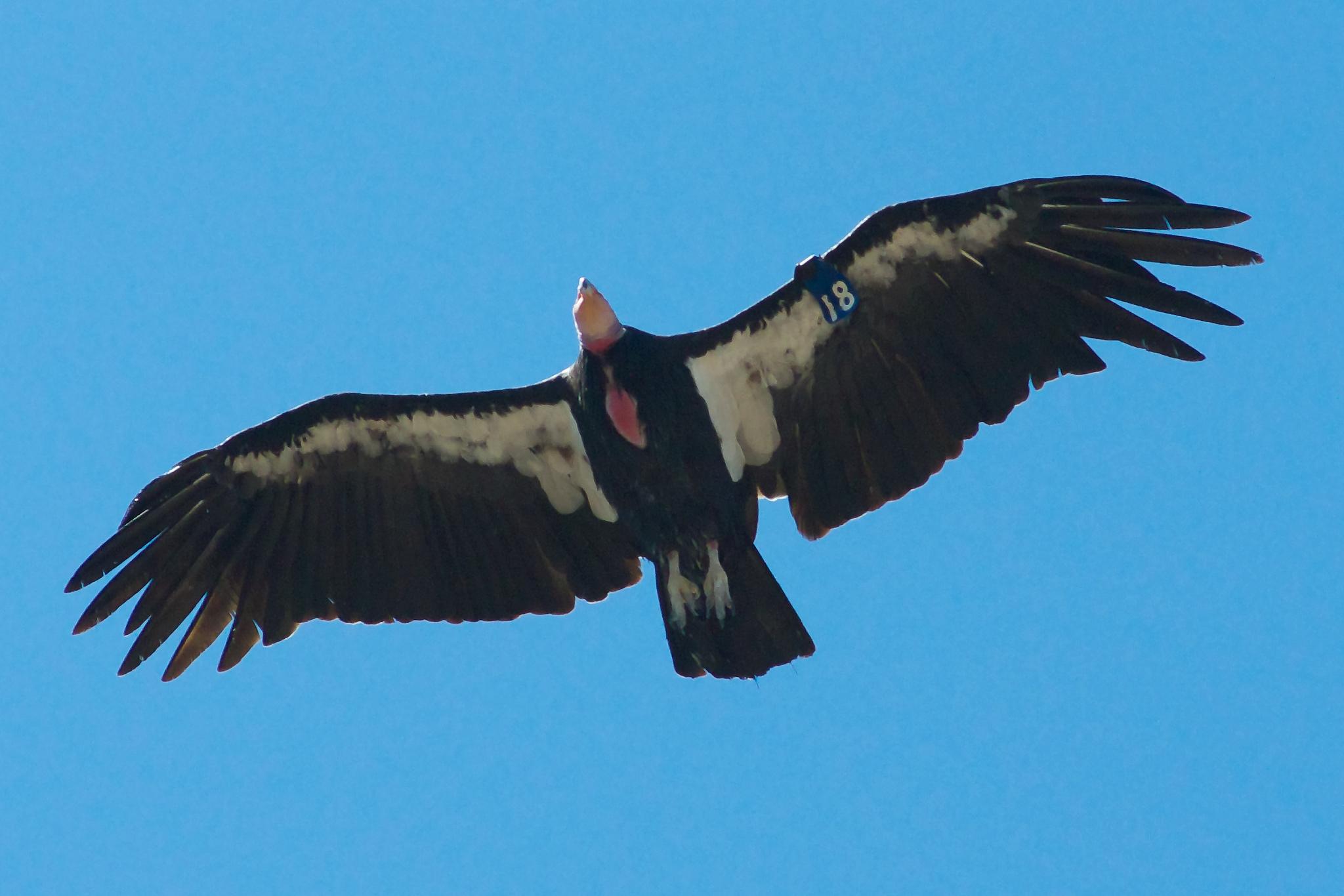 California Condor  svg #11, Download drawings