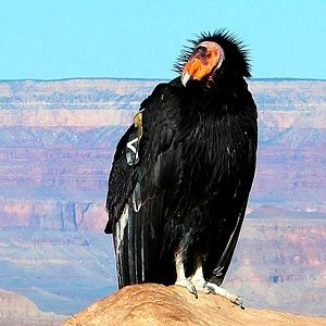 California Condor  svg #14, Download drawings