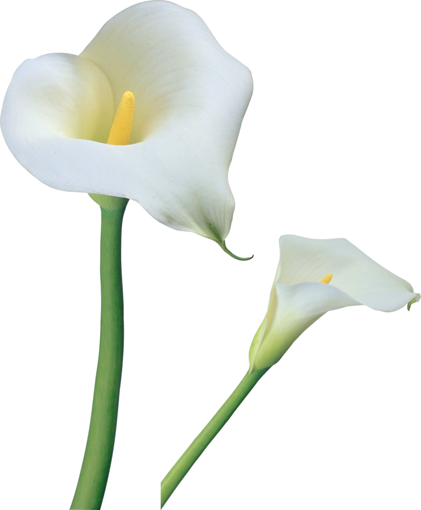 Calla clipart #1, Download drawings