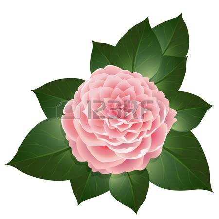 Camellia clipart #14, Download drawings