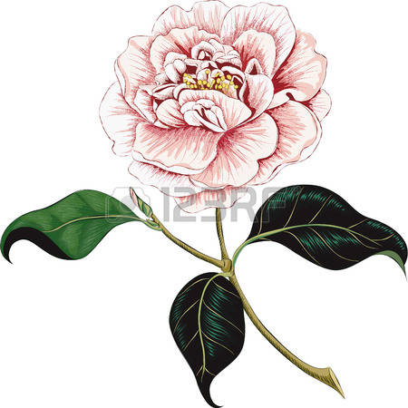Camellia clipart #13, Download drawings