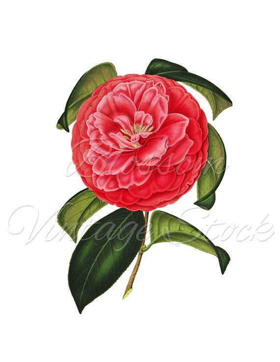 Camellia clipart #12, Download drawings