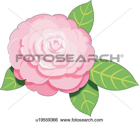 Camellia clipart #11, Download drawings