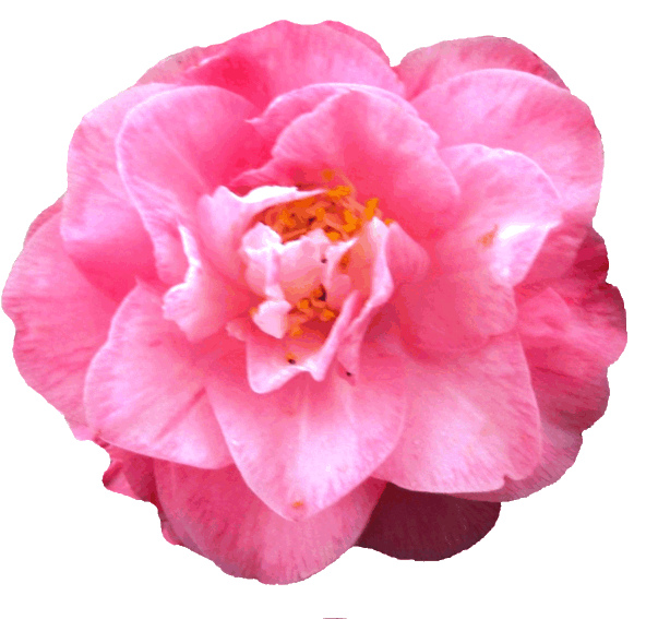 Camellia clipart #3, Download drawings