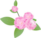 Camellia clipart #10, Download drawings