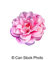 Camellia clipart #18, Download drawings
