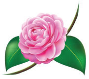 Camellia clipart #19, Download drawings