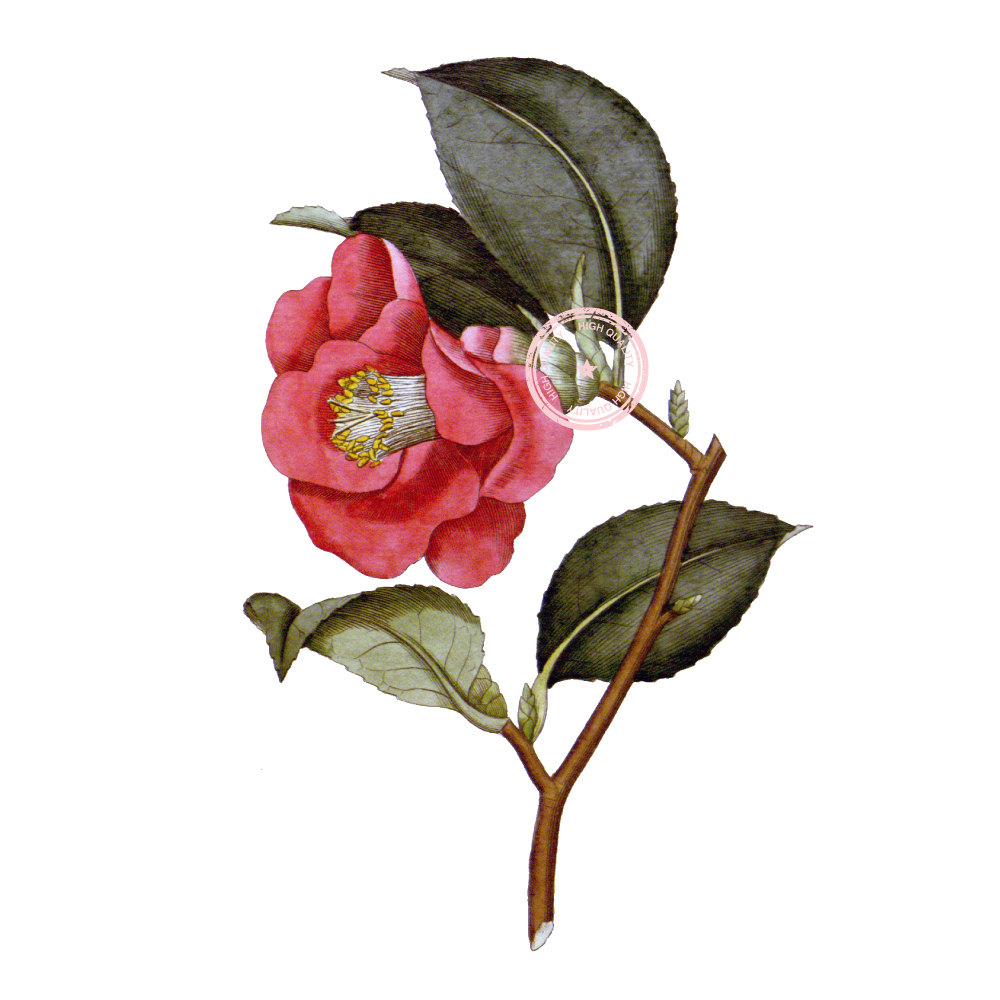 Camellia clipart #6, Download drawings