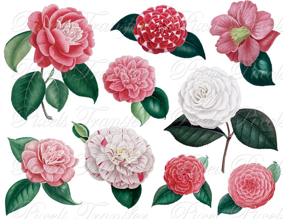 Camellia clipart #7, Download drawings
