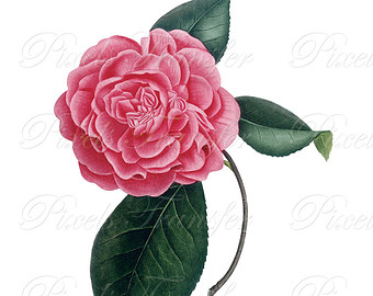 Camellia clipart #1, Download drawings