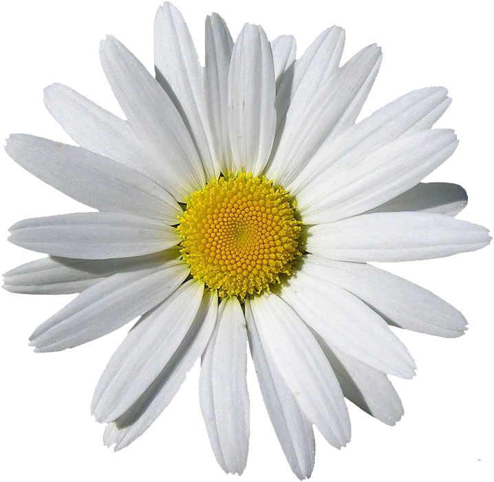 Camomile clipart #6, Download drawings