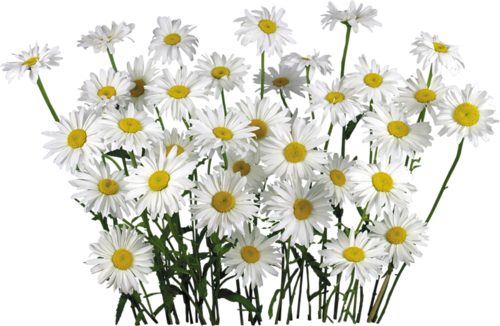 Camomile clipart #8, Download drawings