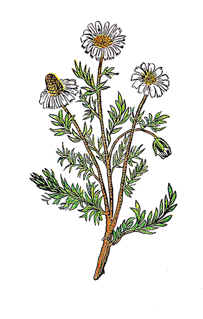 Chamomile clipart #20, Download drawings