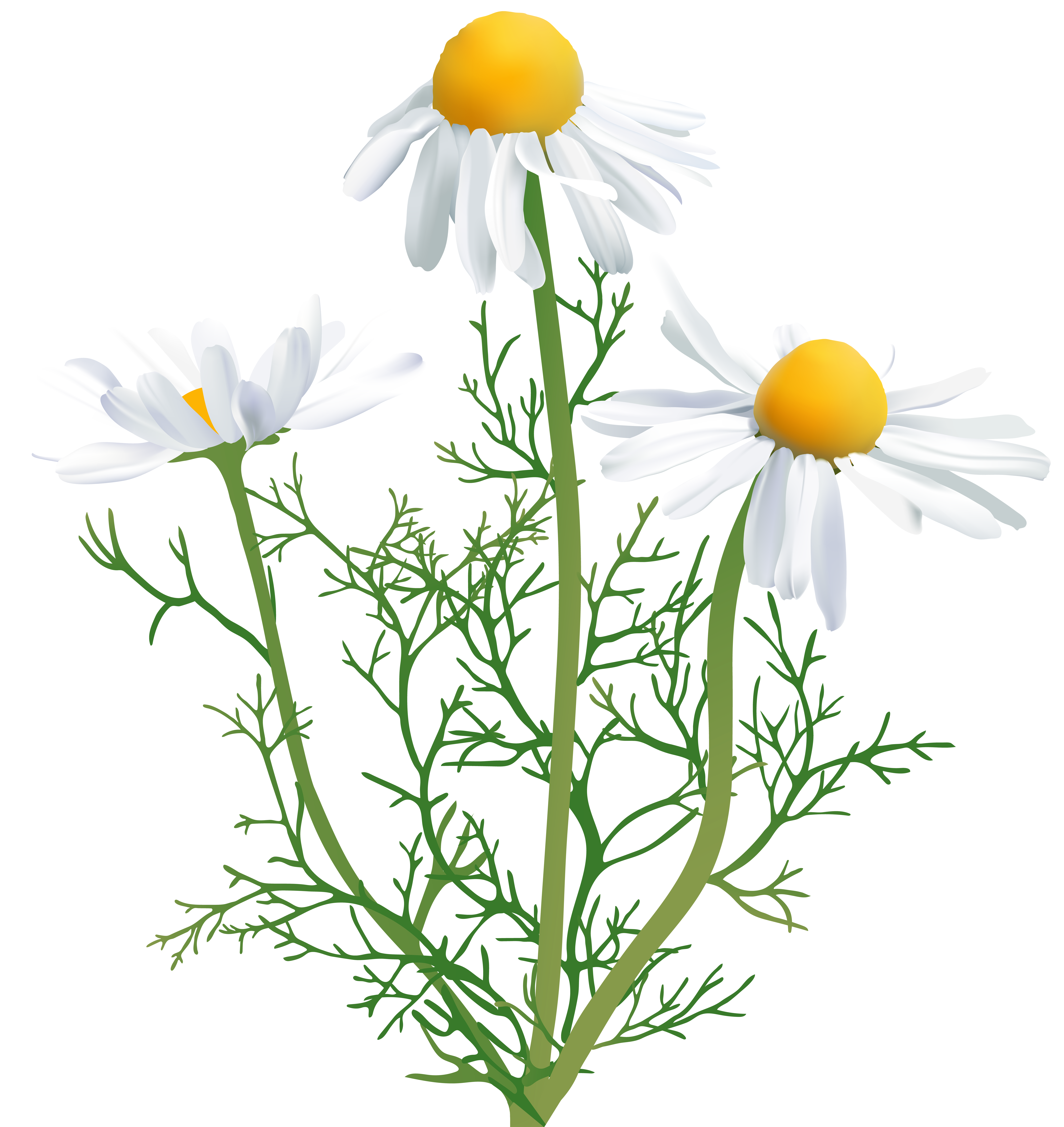 Camomile clipart #2, Download drawings