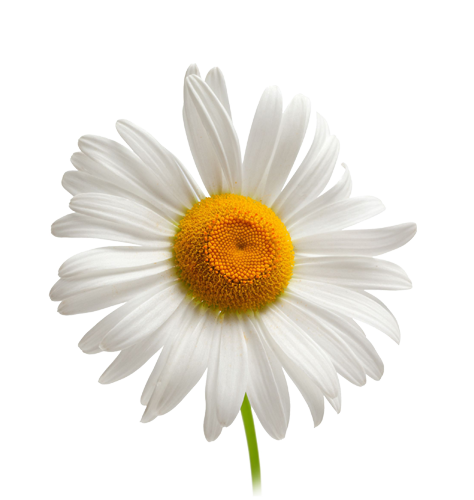 Camomile clipart #11, Download drawings