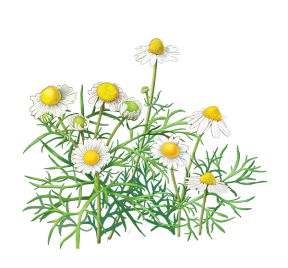 Camomile clipart #18, Download drawings