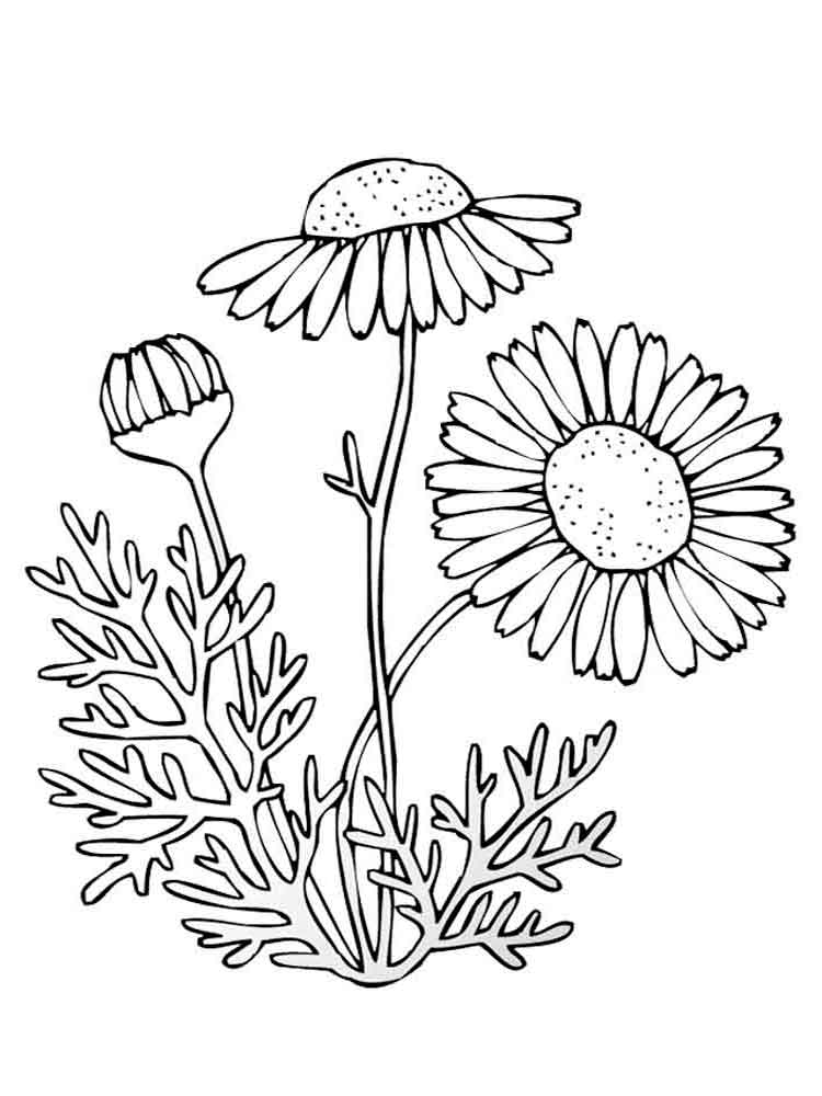 Camomile coloring #13, Download drawings