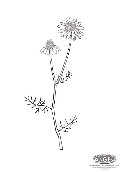 Chamomile coloring #15, Download drawings