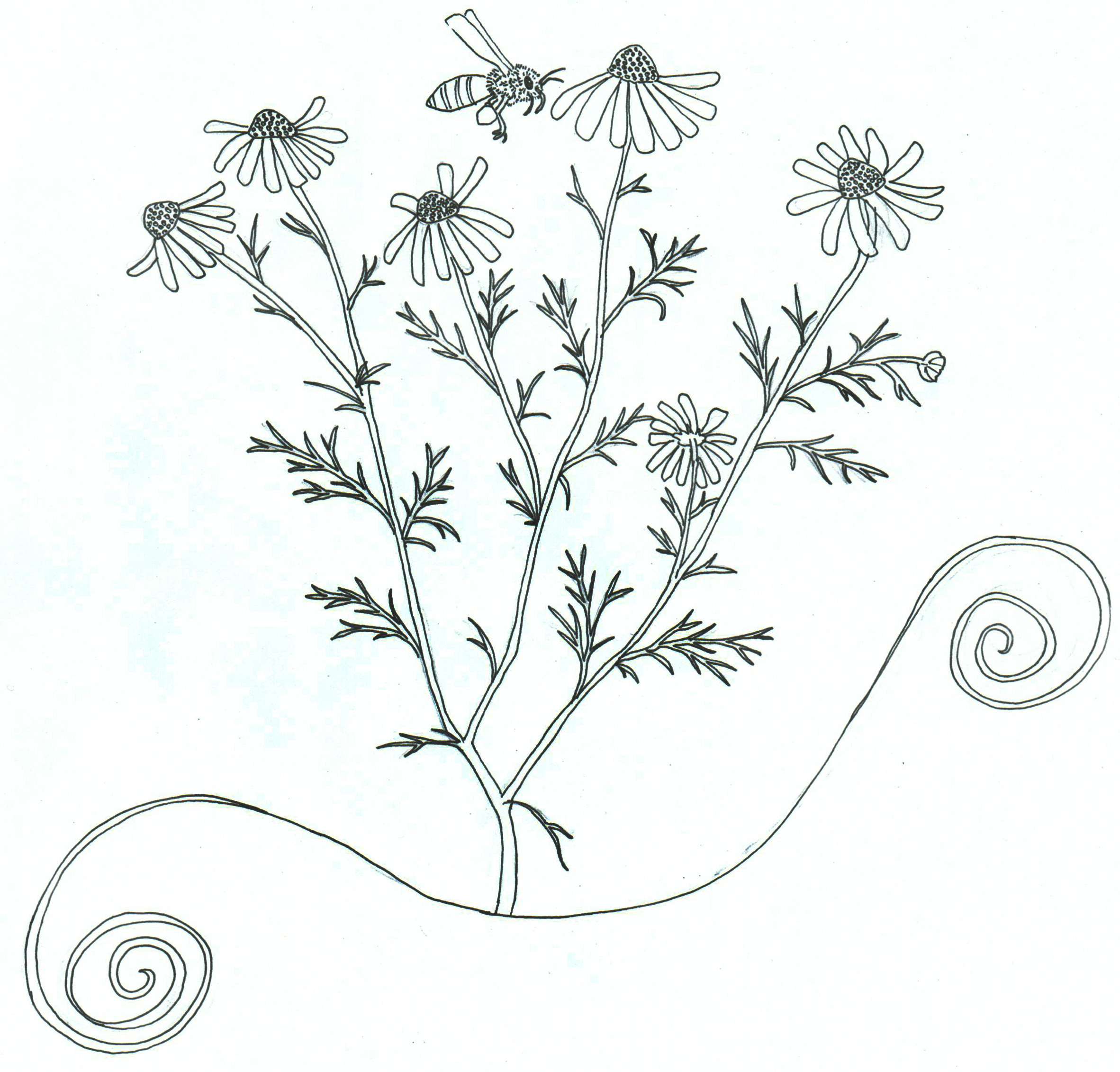 Chamomile coloring #16, Download drawings