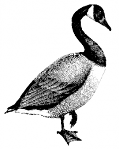 Canada Goose clipart #2, Download drawings