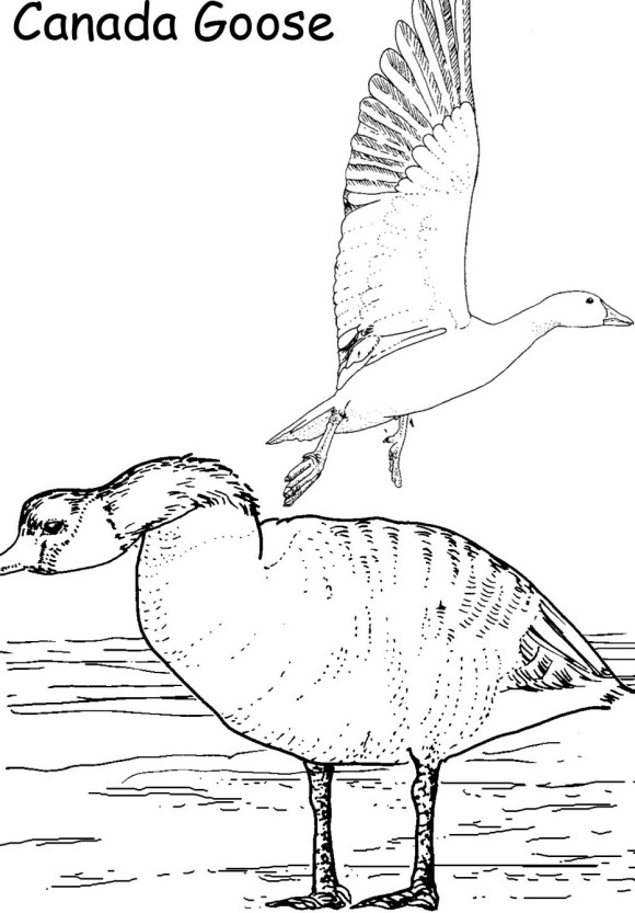 Canada Goose coloring #16, Download drawings