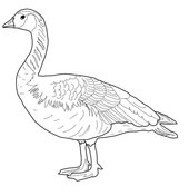 Canada Goose coloring #14, Download drawings
