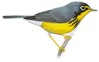 Canada Warbler clipart #20, Download drawings