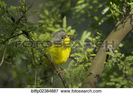 Canada Warbler clipart #12, Download drawings