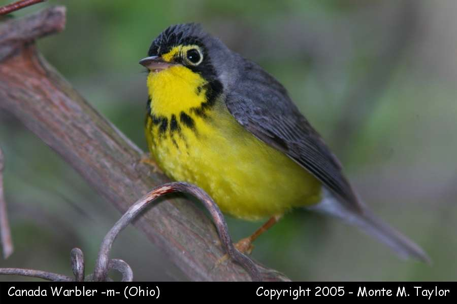 Canada Warbler clipart #8, Download drawings