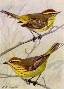 Canada Warbler clipart #3, Download drawings