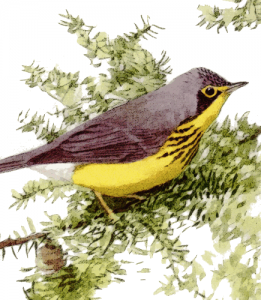 Canada Warbler clipart #2, Download drawings