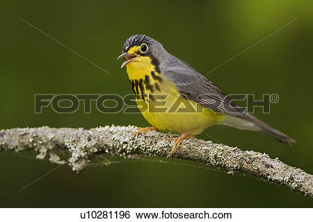 Canada Warbler clipart #18, Download drawings