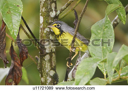 Canada Warbler clipart #17, Download drawings
