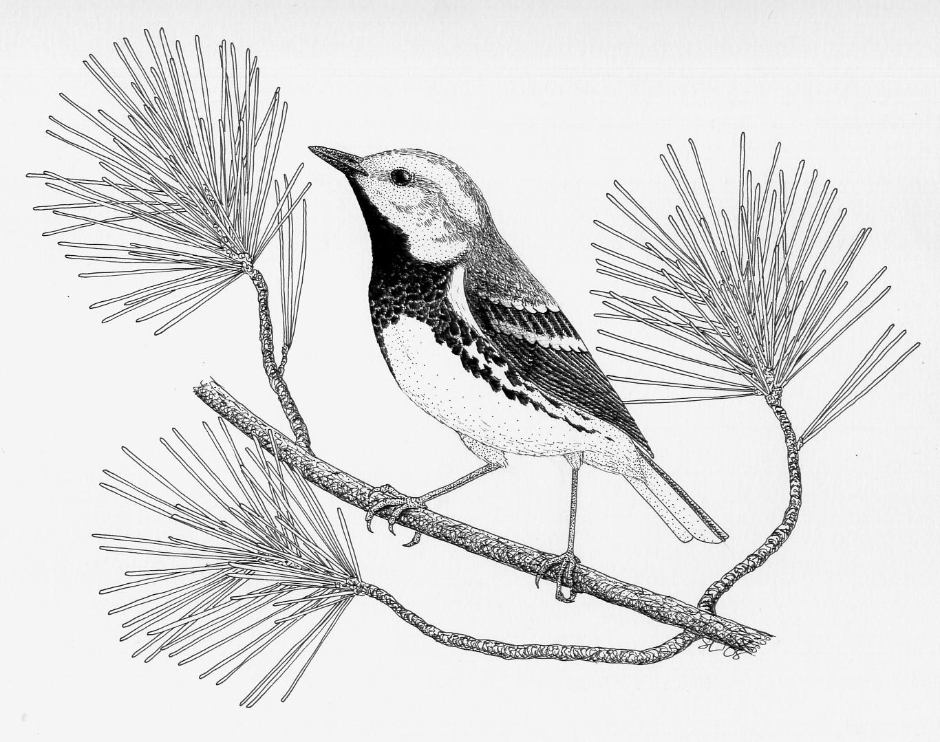 Canada Warbler coloring #8, Download drawings