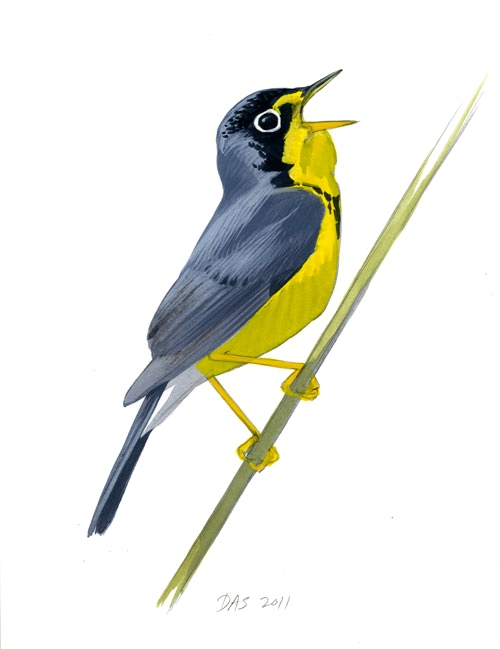 Canada Warbler coloring #17, Download drawings