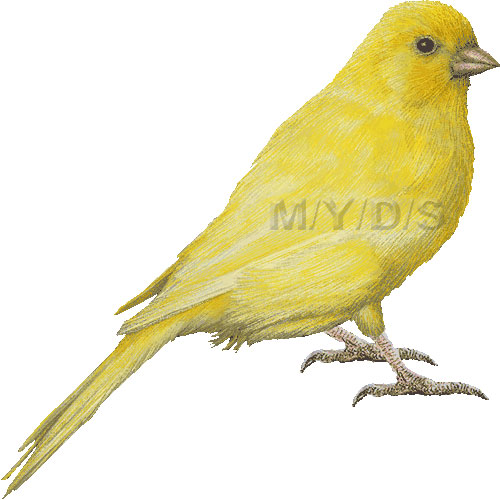 Canary clipart #3, Download drawings