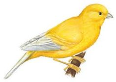 Canary clipart #15, Download drawings
