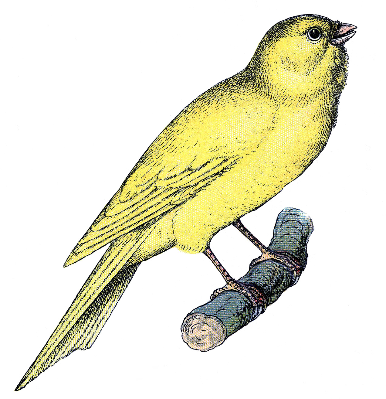 Canary clipart #2, Download drawings