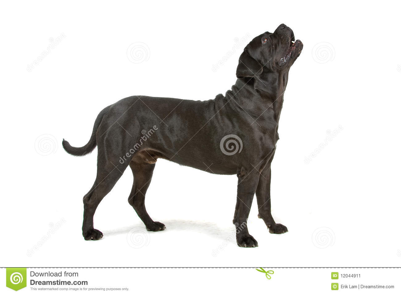 Cane Corso clipart #9, Download drawings