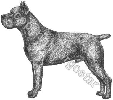 Cane Corso clipart #17, Download drawings
