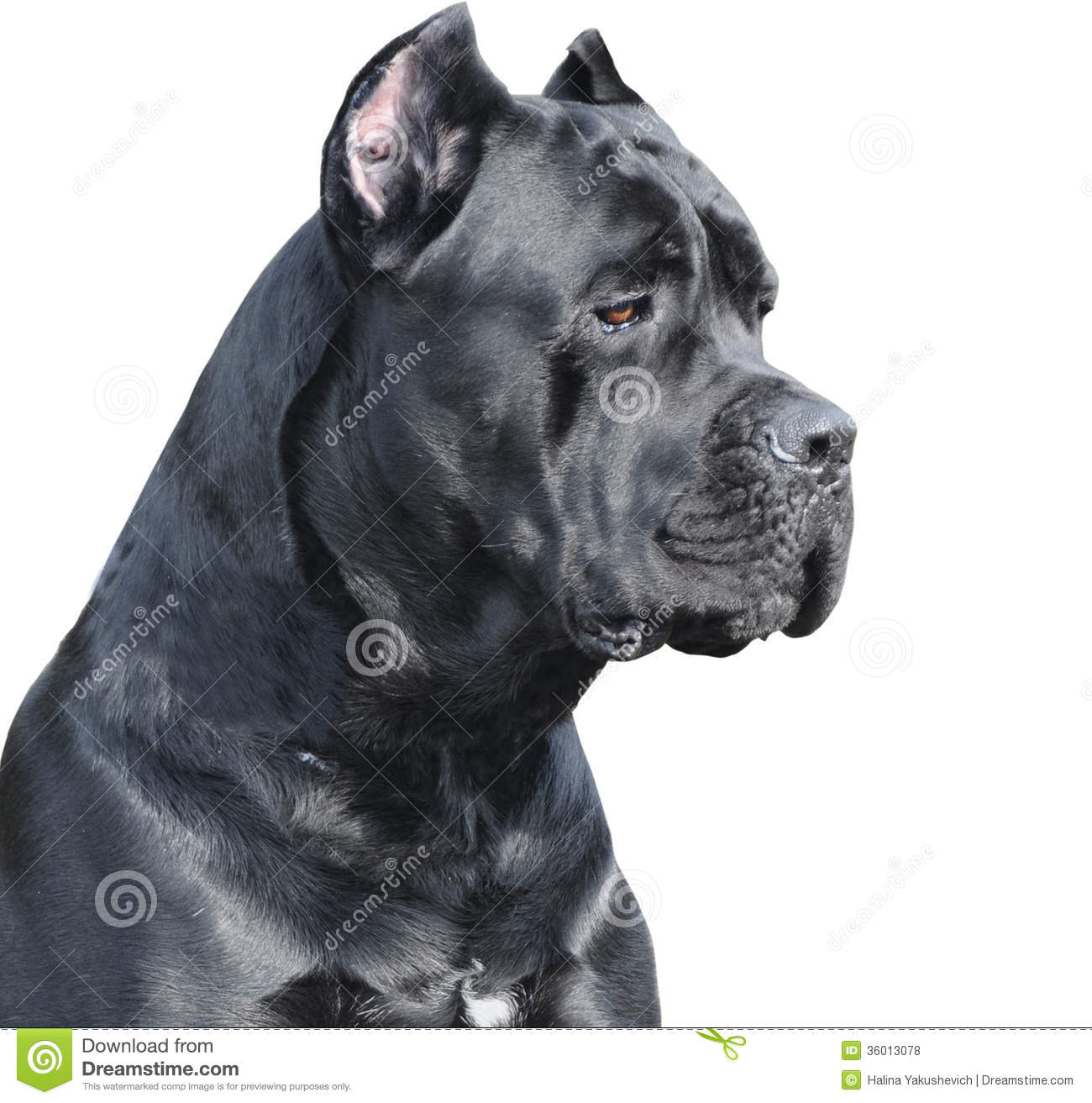 Cane Corso clipart #7, Download drawings