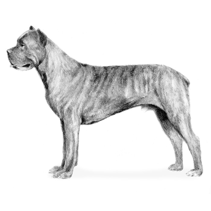 Cane Corso coloring #9, Download drawings