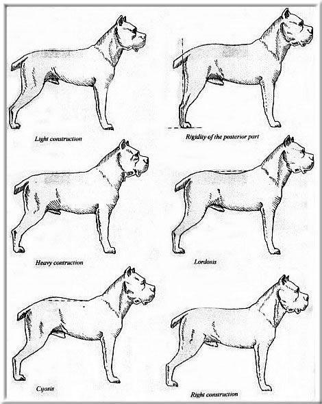 Cane Corso coloring #7, Download drawings