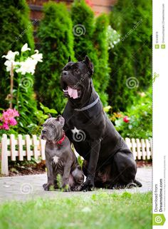 Cane Corso coloring #8, Download drawings