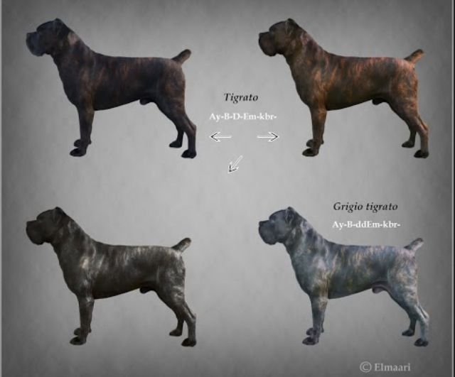 Cane Corso coloring #17, Download drawings