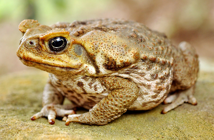Cane Toad clipart #5, Download drawings