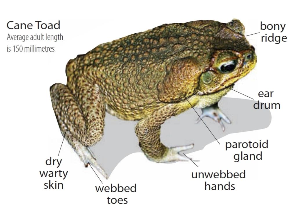 Cane Toad svg #5, Download drawings