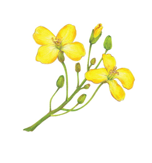 Canola clipart #3, Download drawings