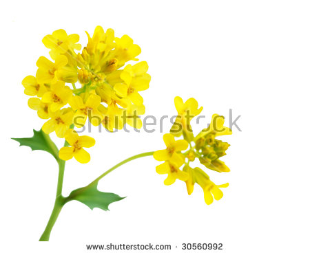 Canola clipart #6, Download drawings